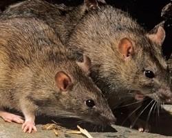 szczury-myszy-zwalczanie