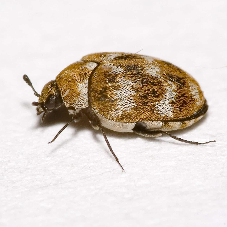 insektpol owady
