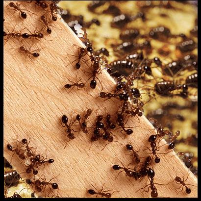 firma zwalczająca mrówki