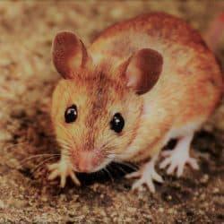 myszy gryzonie zwalczanie