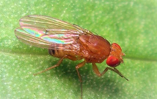 muszki owocowki melanogaster
