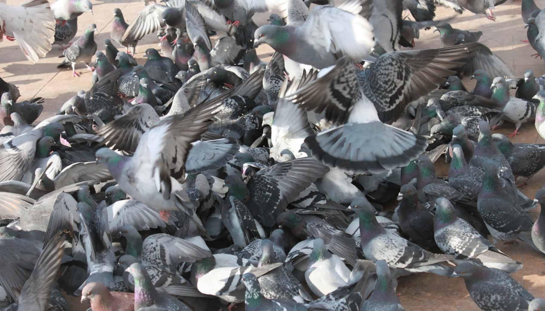 odstraszanie ptaków gołębi