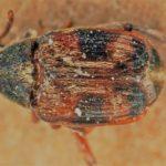 Strąkowiec czteroplamy – chrząszcz zaliczany do rodziny stonkowatych